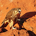 Prarie Falcon by Dennis Hammer