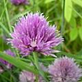 Pretty Purple Chive Flower by Kent Lorentzen