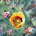 Prickly Pear Bloom by Heather S Huston