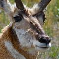 Pronghorn Buck Face Study by Karon Melillo DeVega