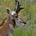 Pronghorn Buck Profile by Karon Melillo DeVega