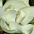 Pure White Fragrant Beauty by Deborah Benoit