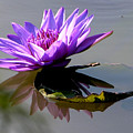 Purple Beauty On The Pond by John Lautermilch