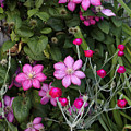 Purple Clematis And Rose Campion by William Kuta