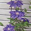 Purple Clematis by Elizabeth Ellis