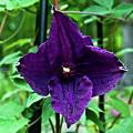 Purple Clematis Henryi by Douglas Barnett