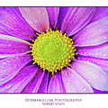 Purple Daisy by Stephanie Hayes