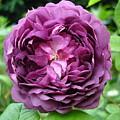 Purple English Rose by Susan Baker