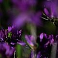 Purple Haze by Paul Mangold