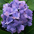 Purple Hydrangea by Ed A Gage