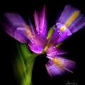 Purple Iris by Frederic A Reinecke