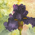 Purple Iris by Jerry Kelley