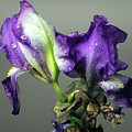 Purple Iris Water Drops by Brian Wallace