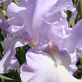 Purple Irises Artwork Lavender Iris Flowers 13 Botanical Floral Art Baslee Troutman by Baslee Troutman