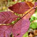 Purple Leaf by Joni  Strickfaden