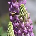 Purple Lupine Bee 4 by Marjorie Imbeau