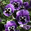 Purple Pansies by Carol Groenen