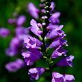 Purple Skullcap Bloom by Barbara Bowen