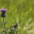 Purple Thistle by Sara Stevenson