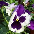 Purple White Pansy by Gene Ritchhart