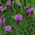 Purple Wildflowers by Alice Markham