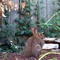 Rabbit by Charles Robinson