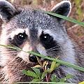 Raccoon 3 by J M Farris Photography