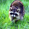 Raccoon by Alan Look