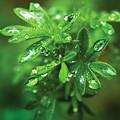 Rain Drops On Green Leaves by Steve Somerville