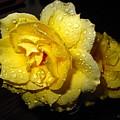 Rain Soaked Yellow Rose by Joyce Dickens