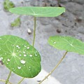 Raindrops On A Nasturtium Leaf by Eric  Schiabor