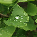 Raindrops On Ginko And Warm Woolen Mittens by David Bearden