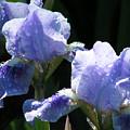 Rainy Irises by Mary Lane