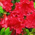 Red Azaleas by Richard Singleton