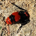 Red Burrowing Insect by J M Farris Photography