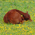 Red Calf In The Buttercup Meadow by Susan Baker