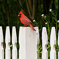 Red Cardinal--white Fence by Carol A Commins