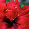Red Flower by Yavor Kanchev