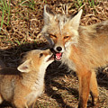 Red Fox Vixen With Pup On Hecla Island In Manitoba by Mark Duffy