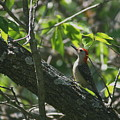 Red Headed Woodpecker by David Dunham