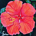 Red Hibiscus by Christopher Spicer