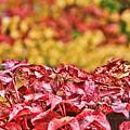 Red Leaves by Sergey and Svetlana Nassyrov