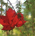 Red Maple Leaf On Hemlock by John Burk
