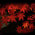 Red  Momiji by Eena Bo