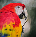 Red Parrot by Tom Dowd