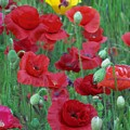 Red Poppies by Gene Ritchhart