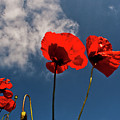 Red Poppies On Blue Sky by Heiko Koehrer-Wagner