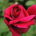 Red Rose by Jost Houk