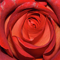 Red Rose Up Close by Richard Bryce and Family