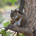 Red Squirrel by Doug Johnson